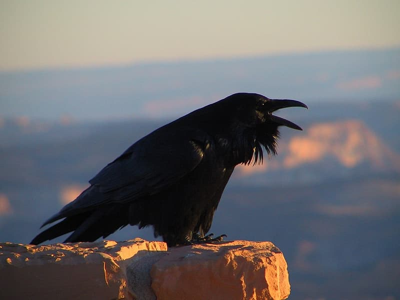 Shallow focus photography of crow