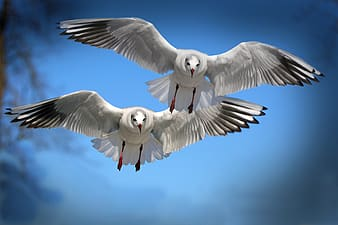 Two Franklin's gulls