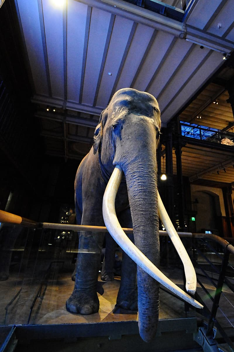 Mammoth, Museum Of Natural History