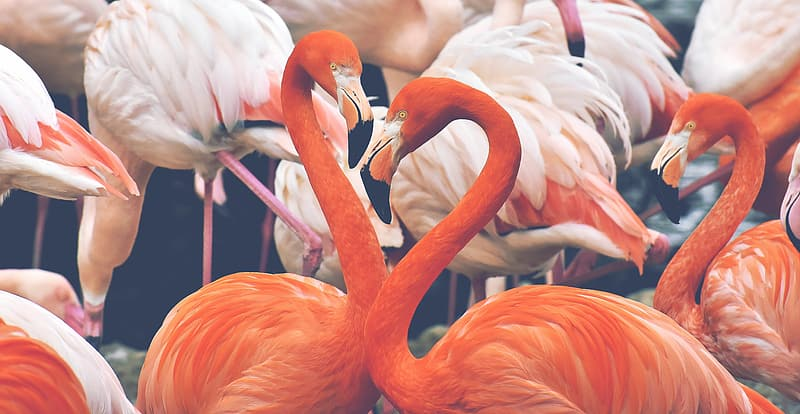 Pink flamingos in shallow focus lens