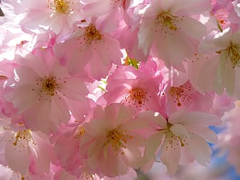 Pink blooming cherry blossoms wallpaper