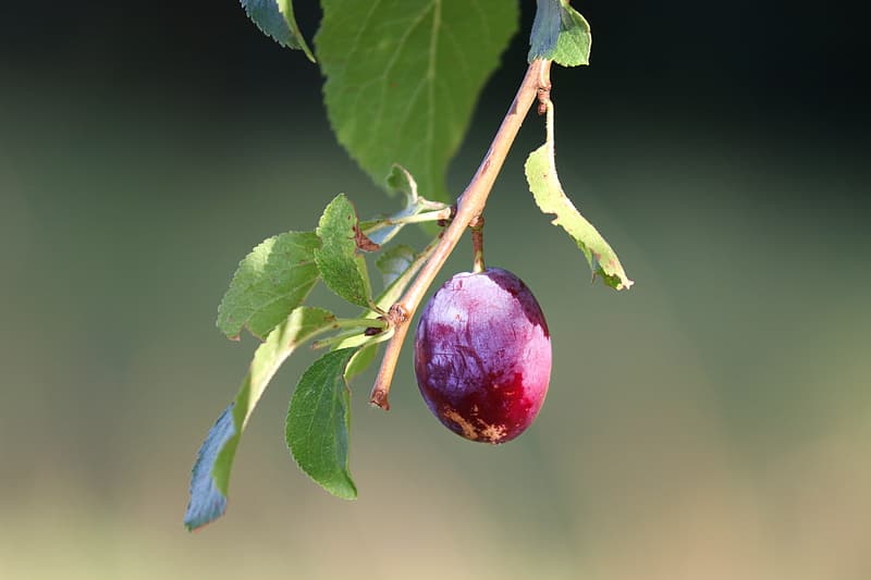 Red round fruit on green leaves