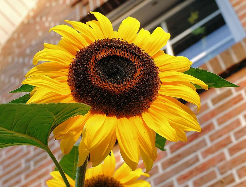 Closeup photo of yellow sunflower