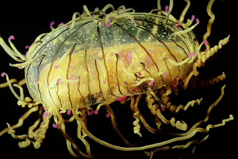 Yellow and black jelly fish