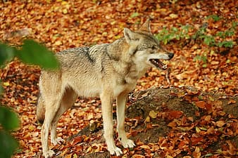 Brown and black wolf on brown dried leaves