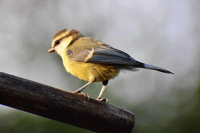 Yellow and gray bird on brown tree branch