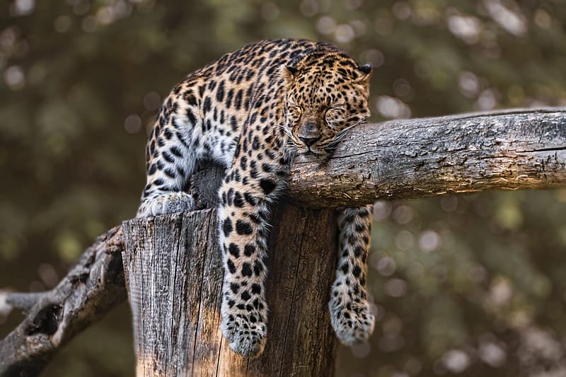 Leopard on brown wooden log during daytime