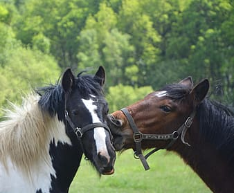 Two black and brown horses near trees at daytime