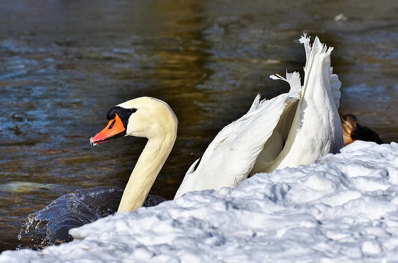 White swan on body of water