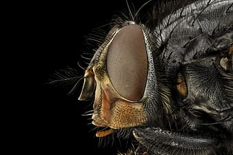 Macro photography of common housefly