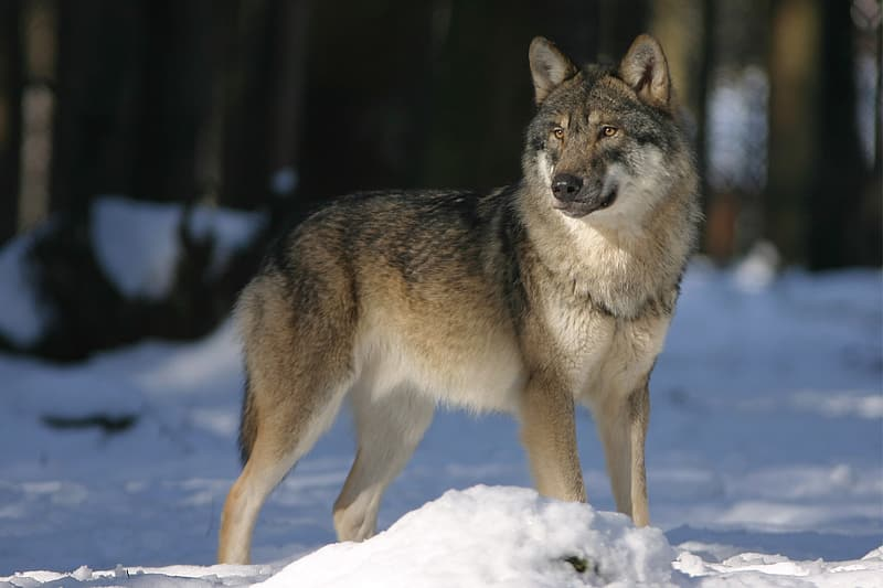 Brown and black wolf in winter season standing during day time