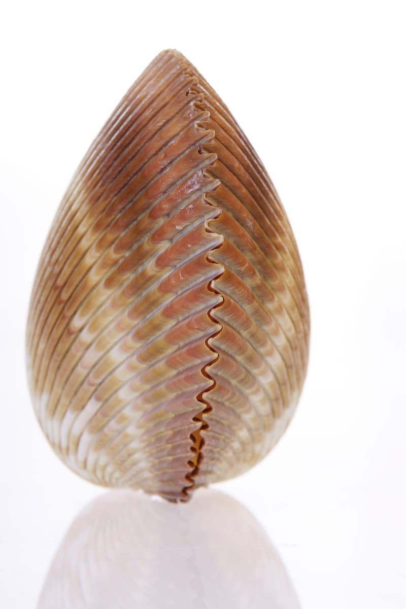 Brown and white shell illustration