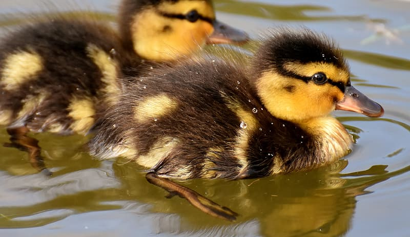 Two yellow-and-black ducklings on water