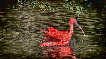 Red flamingo on water during daytime
