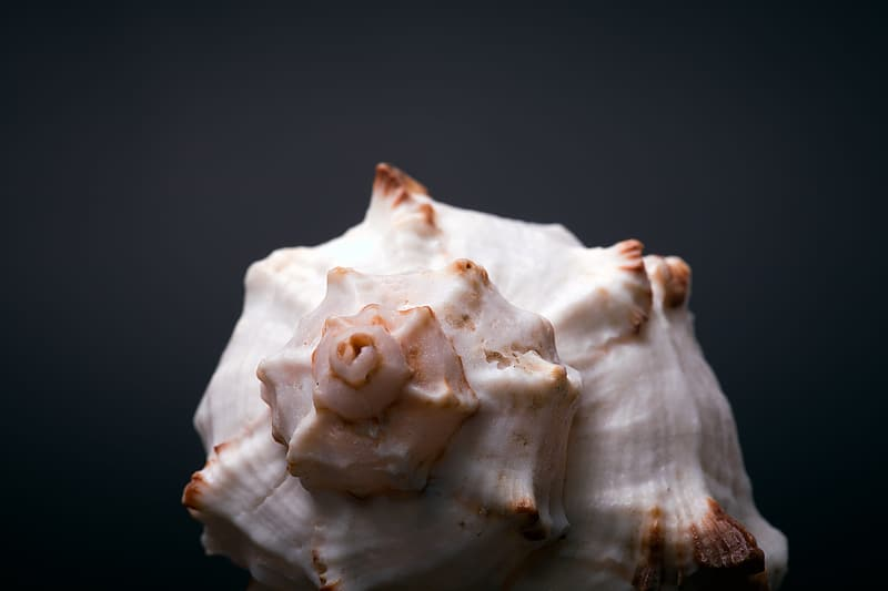 White and brown seashell on black surface