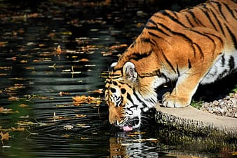 Tiger on brown wooden log in water
