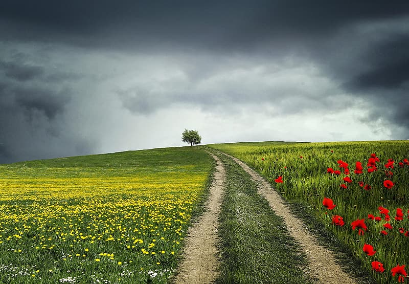 Solitary tree on red poppies and yellow flower field