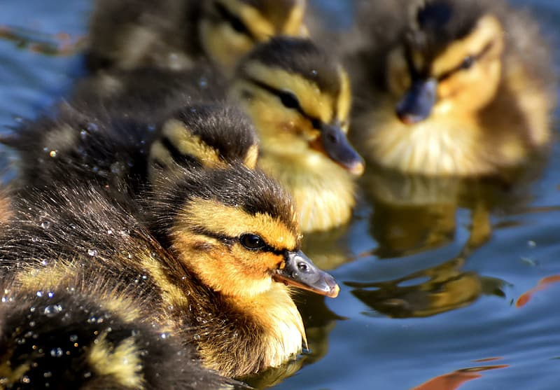 Black-and-yellow ducklings close-up photo