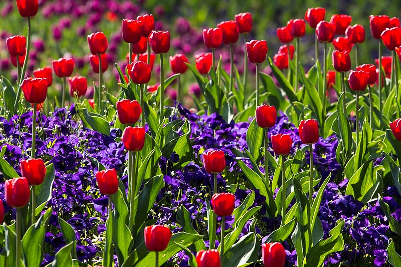 Bed of red tulip flower