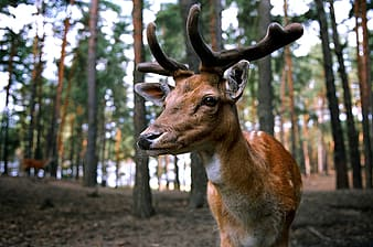 Adult tan deer in the forest