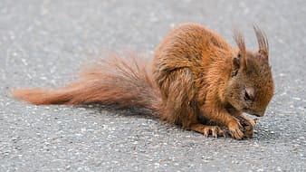 Brown squirrel on gray pavement surface
