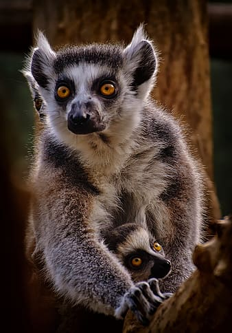 Black and white lemur on brown wooden surface