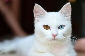 Short-fur white cat