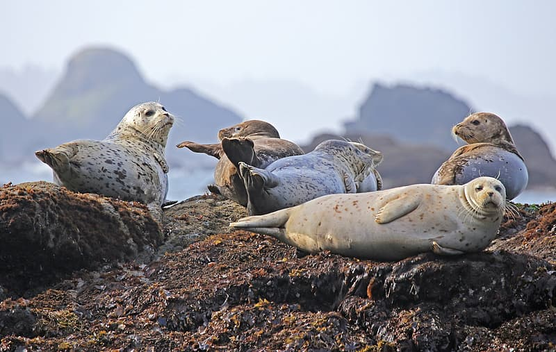Five gray sea lions on brown stone fragment