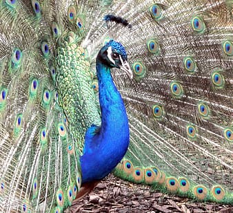 Blue, gray, and green peacock
