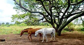 Two brown and white horse under tree