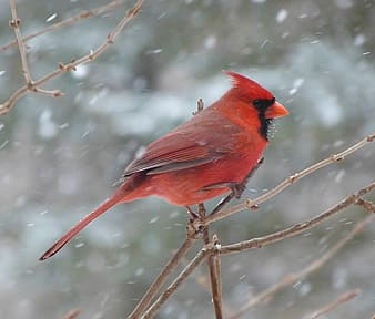 Red cardinal bird perching on leafless twig during snow time