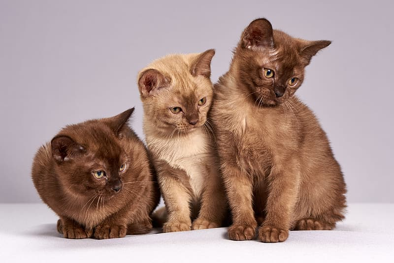 Three short-coated brown cats