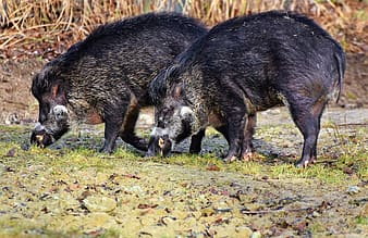 Two black wild pigs on grass