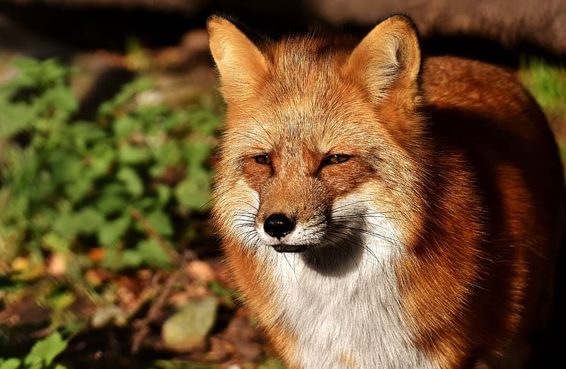 Close up photography of brown fox