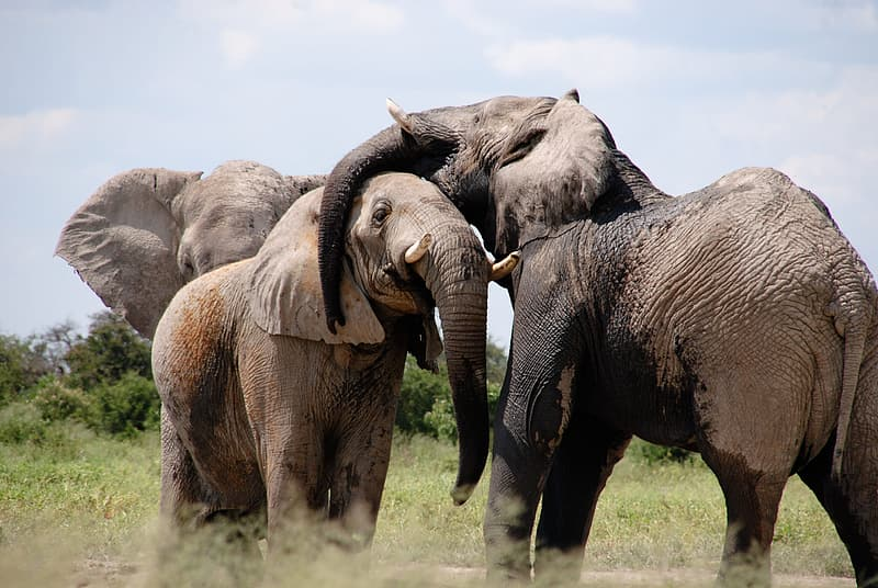 Three brown elephants