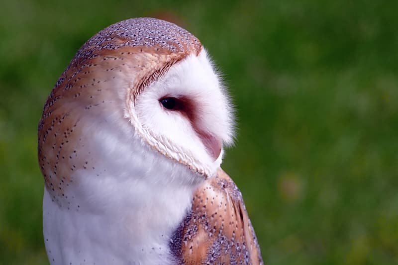 White and brown barn owl selective focus photography