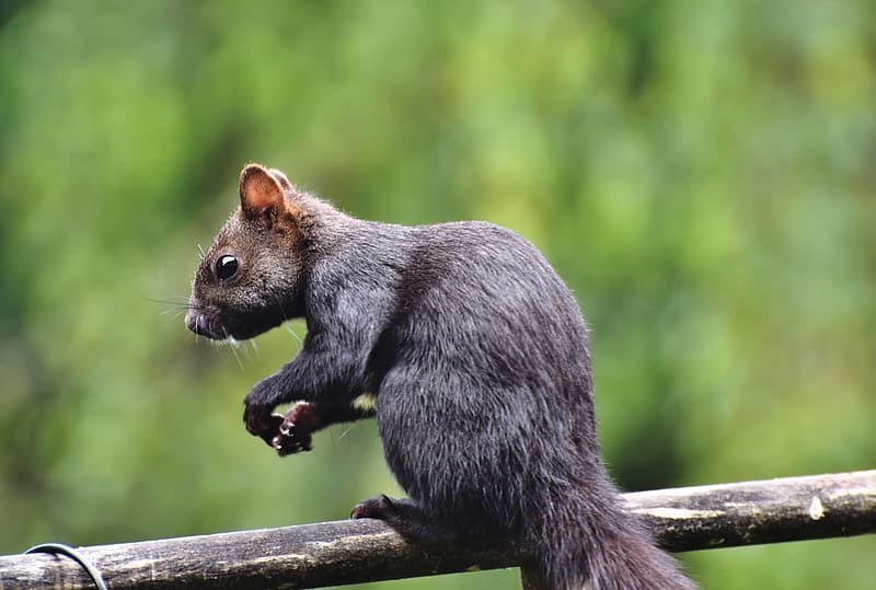 Gray squirrel on brown wooden fence during daytime