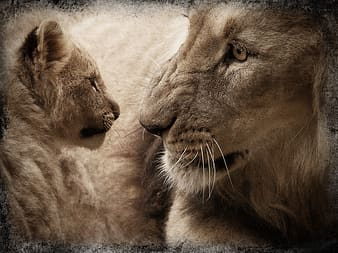 Lion and cub looking at each other