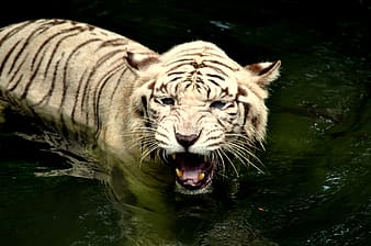 White and black tiger on body of water