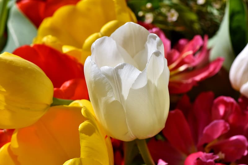 White and yellow tulips in bloom during daytime