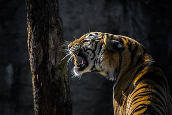 Closeup photo of Bengal tiger