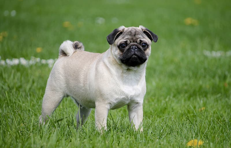 Fawn pug standing on green grassfield