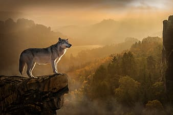 Gray fox standing in mountain cliff