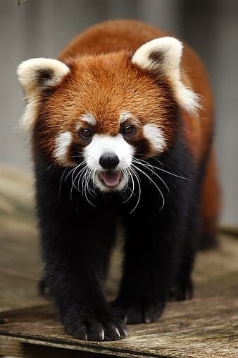 Red panda on brown wooden surface