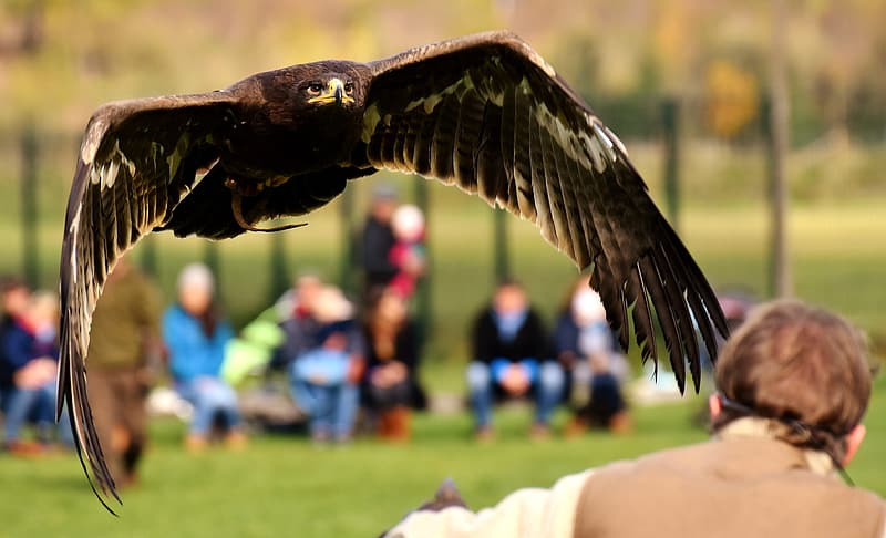 Selective focus photography of black eagle flying towards person