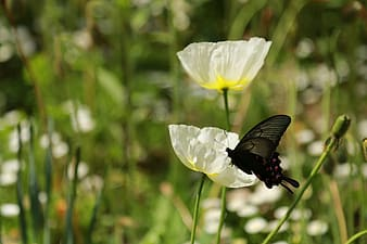 Black butterfly perched on white flower in close up photography during daytime