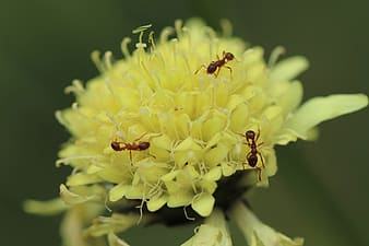 Brown ant on yellow flower in macro photography
