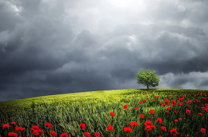 Green field with red flowers wallpaper