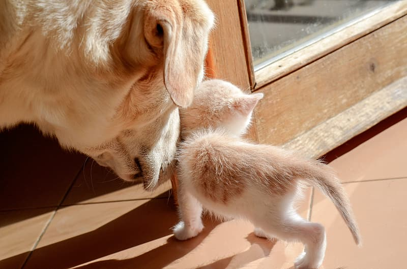 Brown dog smelling white and brown kitten