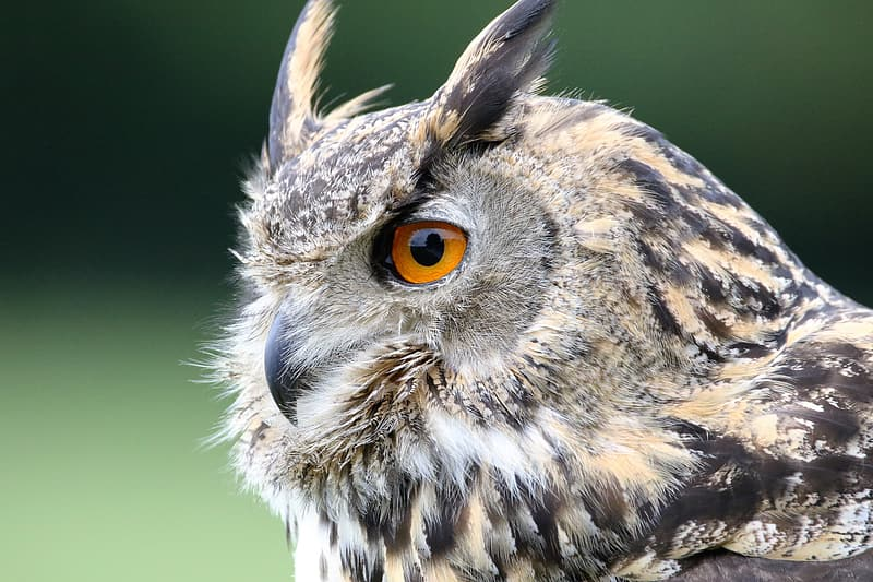 Selective focus photography of gray and black horned owl